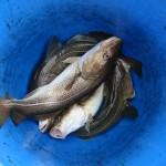 Torskfiskar i blå hink