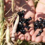 svarta bönor i en hand närbild