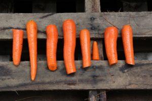 Åtta morötter på ett plankbord