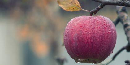 Rött äpple på en gren i närbild
