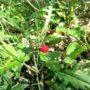 Smultron på buske i närbild och